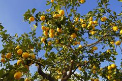 Lemon tree. In a small town- Mallorca stock photography