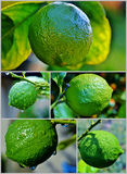 Lemon on tree Stock Photo