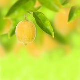 Lemon tree. With fresh lemon Stock Image