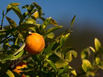 Lemon Tree stock images
