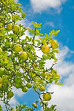 Lemon tree. Citrus fruit on branch. Lemon tree royalty free stock images