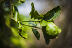 Lemon on tree Stock Image