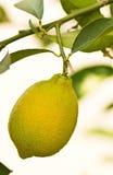 Lemon tree. Close up of lemon on lemon tree Stock Photography