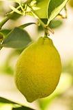 Lemon tree. Close up of lemon on lemon tree Stock Photos