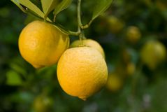 The Lemon Tree Royalty Free Stock Photography