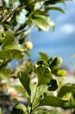 Lemon tree. In Sicily royalty free stock image