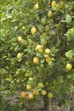 Lemon tree. Multiple lemons on a Lemon tree Royalty Free Stock Image