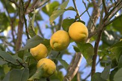 Lemon tree. Detail stock images