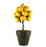 Lemon Tree Stock Images