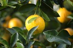 Lemon in tree Stock Photography