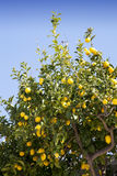 Lemon tree against blue sky Stock Image