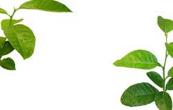 Lemon Tree Background Stock Image
