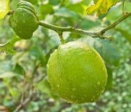 Lemon Tree Bearing Fruit During Spring Royalty Free Stock Photos