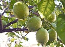 Lemon Tree Bearing Fruit During Spring Royalty Free Stock Images