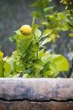 Lemon Tree behing Wall. Lemon Fruit on Twig behind Garden Wall Stock Photos