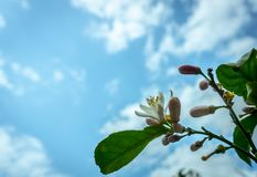 A lemon tree in bloom royalty free stock photo