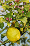 Lemon at tree with blossom. Ripe lemon with lemon blossoms at tree Stock Images