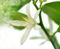 Lemon tree blossom stock photo