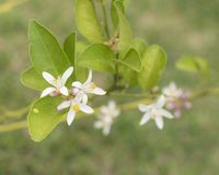Lemon Tree Blossom royalty free stock photography