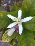 Lemon tree blossom. Lemon tree flower blooming Stock Photos