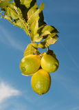 Lemon Tree with Blue Sky Background Royalty Free Stock Photography