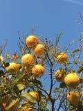 Lemon tree in blue sky. photography sunshine royalty free stock image