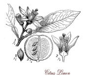 Lemon tree, botanical vintage engraving Royalty Free Stock Photos