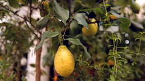 Lemon on a tree branch.  stock video footage