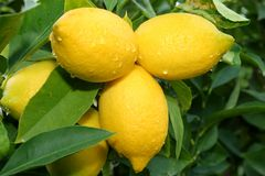 Lemon tree branch Stock Photography
