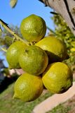 Lemon tree branch. With six lemons and beautiful background Royalty Free Stock Photography