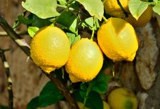 Lemon tree branch Royalty Free Stock Images