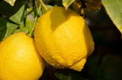 Lemon tree branch Royalty Free Stock Photo