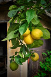 Lemon tree branch with fruits Stock Photo