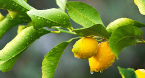 Lemon tree branch and leaves Royalty Free Stock Photos