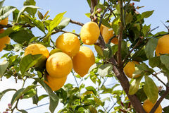 Lemon tree branch with leaves on blue sky Stock Photo