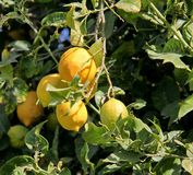 Lemon tree branch with leaves and fruits Royalty Free Stock Photography