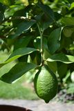 Lemon tree branch. With one lemon and leaves royalty free stock images