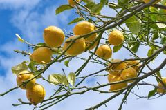 Lemon tree branch in Sorrento. Lemon tree branch with leaves on blue sky background Royalty Free Stock Image
