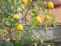 Lemon tree branches with fruits. Lemon tree branches with ripe yellow fruits close-up with city walls in background Royalty Free Stock Photos