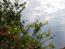 Lemon tree branches. With green unripe lemons and seascape with cloudy sky in background Royalty Free Stock Images