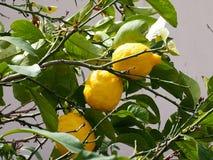 Lemon Tree Or Citrus Limon In Heraklion Crete Greece. Lemon tree or Citrus limon with ripe fruit in Heraklion Crete Greece Stock Image