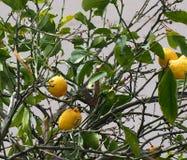 Lemon Tree Or Citrus Limon In Heraklion Crete Greece. Lemon tree or Citrus limon with ripe fruit in Heraklion Crete Greece Royalty Free Stock Images