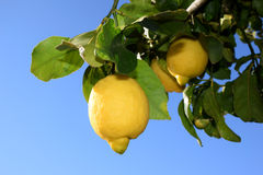 The lemon tree stock images