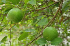 Lemon on the tree Royalty Free Stock Photography
