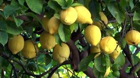 Lemon tree close up stock video footage