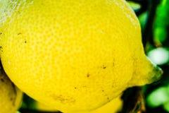 Lemon on a tree closeup. Amalfi coast symbol Stock Photos