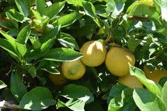 Lemon Tree. Closeup of a lemon tree in Carpinteria, California royalty free stock photos