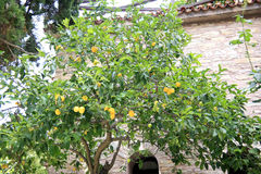 Lemon tree. Stock Photo