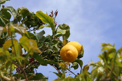 Lemon tree detail Royalty Free Stock Photo