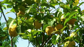 Lemon tree detail stock footage